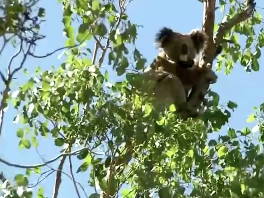 New report finds koalas are on the way to extinction